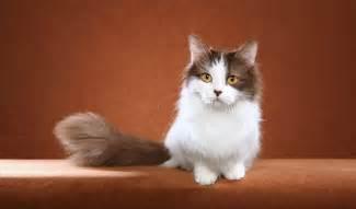 munchkin cat for munchkin cat breed information
