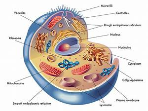 Anatomy Of Human Cell Diagrams