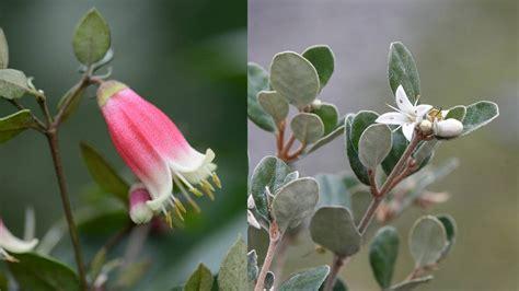 small flowering shrubs  coastal gardens stuffconz