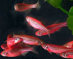 Red Zebra Danio Glo-Fish(glow in the dark) - Product View