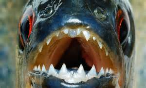 Piranha attack in Bolivia: Drunk teenager killed as police ...