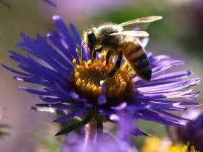 Honey Bees On Flowers