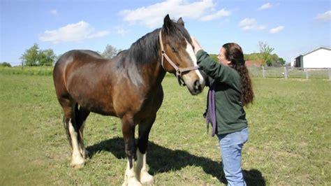 horse gentle draft giants rescue