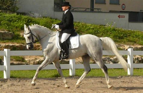 dressage shagya horses horse salto arabski caballos obstacles saut jumping chevaux ko arabian mejores meilleurs arabe konie sangre pura plik