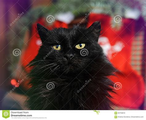 fluffy black cat   background  christmas