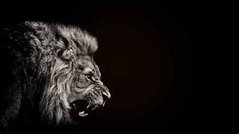 animals lion black wallpapers hd desktop  mobile