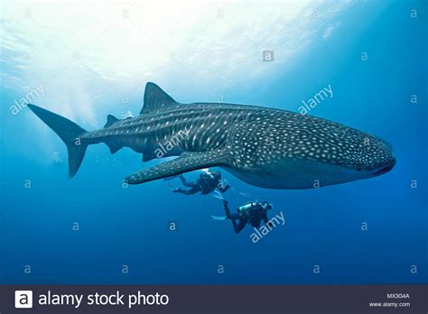 Dive With Whale Sharks Diving With Whale Sharks Stock Photos Diving With Whale