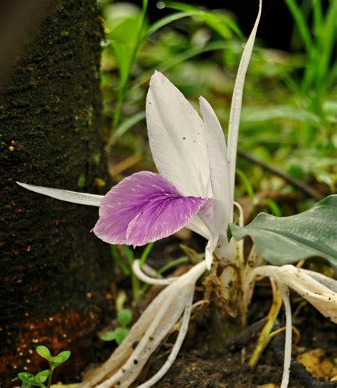 kaempferia rotunda images  tropical plants