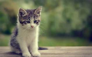 baby cats baby cat wallpapers baby animals