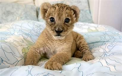 Adorable Lion