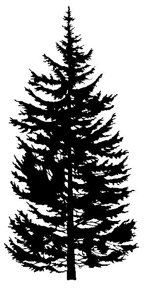 evergreen silhouette rocky mountain douglas fir trees