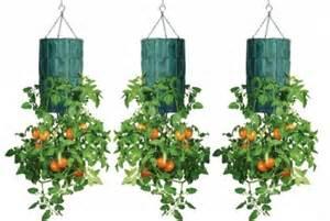 tomaten anpflanzen balkon hängende tomaten anpflanzen perfekt für den balkon treue und ehre