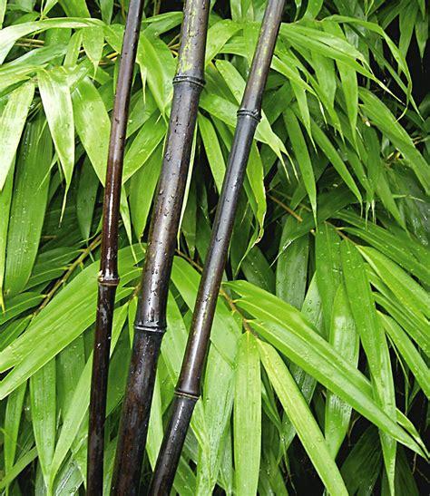 Bambus Garten Pflanzen Kölle by Bambus Kollektion 2 Pflanzen G 252 Nstig Kaufen Mein