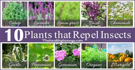 plants to repel mosquitos top 10 plants that repel unwanted insects the healthy honeys