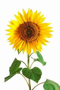 Sunflower (Helianthus Annuus) History, Benefits, Side ...
