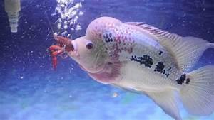Flowerhorn eating crawfish HD - YouTube