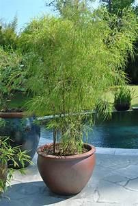 Ginster Richtig Schneiden : bambus ableger bambus vermehren wie bambus vermehren ~ Lizthompson.info Haus und Dekorationen