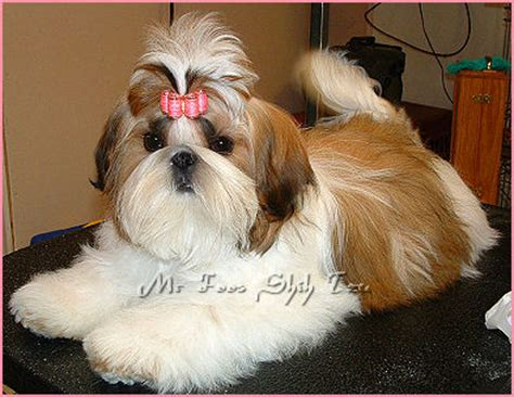 foos shih tzu  indiana kentucky missouri illinios