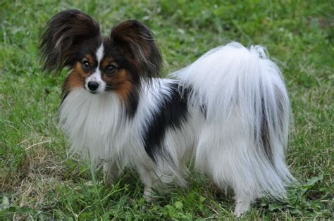 phalene dog breed standards