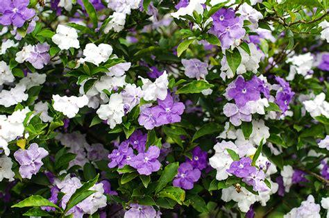 Brunfelsija - puķe, kas maina krāsu. Ieteikumi, kā kopt šo augu | Praktiski.lv