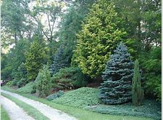 Mixed evergreen tree screen, conifers Trees Please