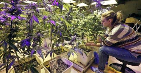 si鑒e social association marijuana terapeutica a lecce l 39 unico cannabis social d 39 italia il fatto quotidiano