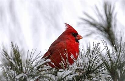 Bird Cardinal Winter Snow Wallpapers Birds Desktop