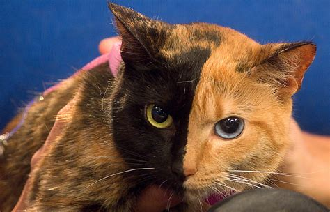 Venus The Two-faced Cat Still A Mystery