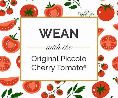 Tomato Annabel Melon Cherry Piccolo Brain Karmel