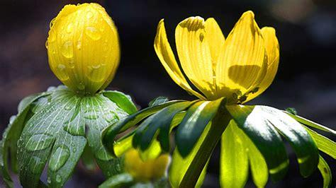 Winterlinge Im Garten Pflanzen Und Vermehren