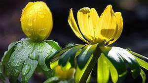 Garten Pflanzen : winterlinge im garten pflanzen und vermehren ~ Eleganceandgraceweddings.com Haus und Dekorationen