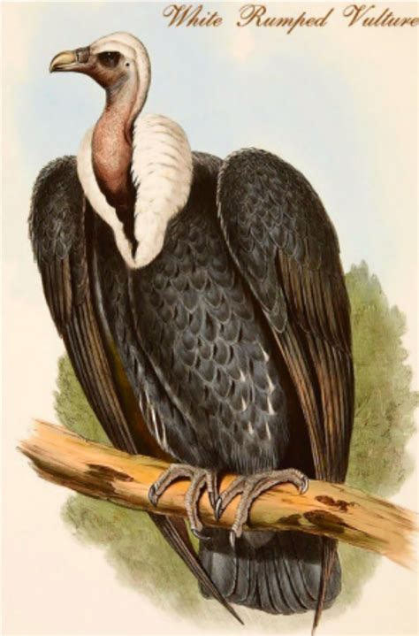 why the white rumped vulture eats only dead meat planet
