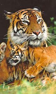 Siberian Tiger | The Life of Animals