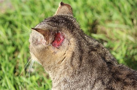 ear cat cats mange ears behind scratching scabies problems injuries petmd tip symptoms hardened homeless reed causes common typical signs
