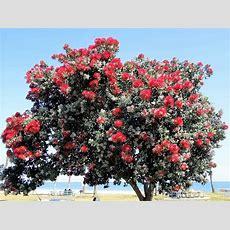 Trees & Santa Barbara Beautiful  Santa Barbara Beautiful
