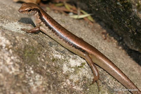 tailed lizard long tailed sun skink reptiles and amphibians of bangkok