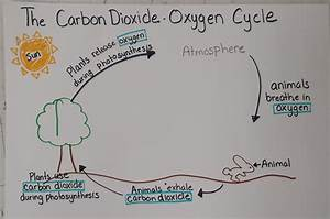Carbon Dioxide Oxygen Cycle Diagram