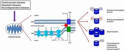 Mitochondrial Vdac1 Membrane Outer Potential Target Gatekeeper
