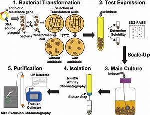 Protein Engineering Utilizing An E  Coli Expression System  The Basic