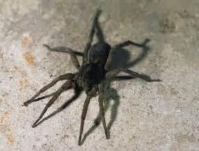 Black Wolf Spider Ohio