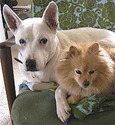bull terrier queensland heeler mixed breed dog