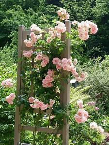 Support Pour Rosier Grimpant : les pins noirs rosiers veilchenblau new dawn et soir e ~ Premium-room.com Idées de Décoration