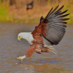 African Fish Eagle | BIRDS - Other eagles | Pinterest