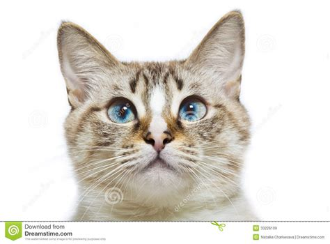 Blue Eyed Cat Head Stock Image. Image Of Cute, Head, Part