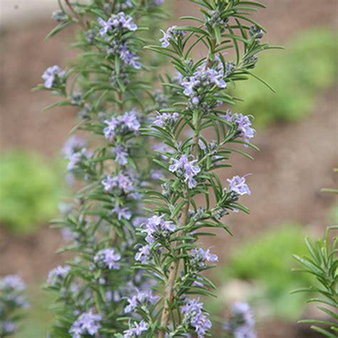 rosemary plant uk buy rosemary rosmarinus officinalis miss jessopp s upright