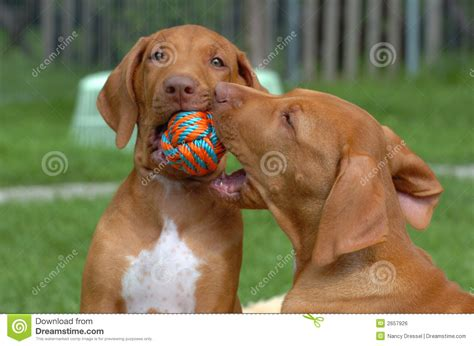 Puppy Play Royalty Free Stock Image  Image 2657926