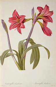 Amaryllis Brasiliensis Drawing by Pierre Redoute