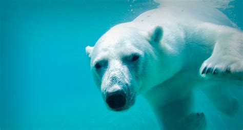 Polar Bears Swim For Days As Sea Ice Retreats