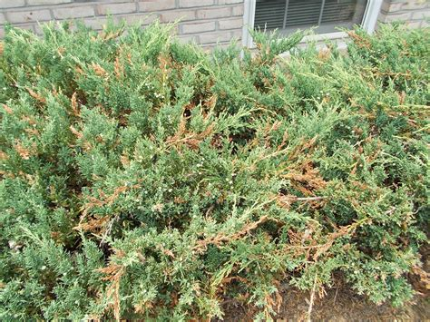 juniper bush i have 6 juniper bushes displaying this same quot browning quot i have ask an expert