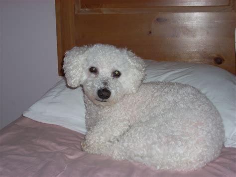 Bichon Poo Bichon Poodle Mix Info Puppies Pictures